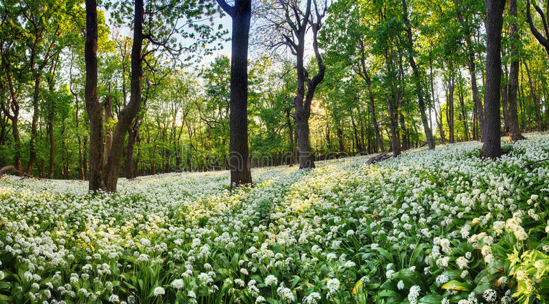Geen森林用在日落的野生蒜,斯洛伐克 免版税库存照片