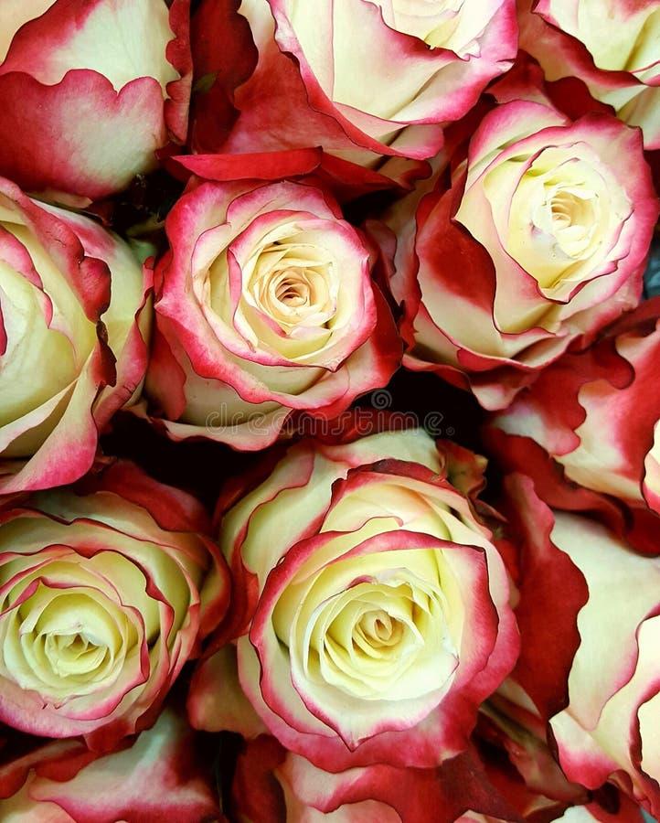 Geen rozen van Malu van het kleurenijs royalty-vrije stock foto's