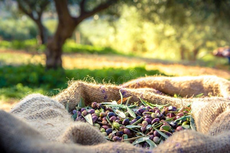 Geerntete neue Oliven in den Säcken auf einem Gebiet in Kreta, Griechenland für Olivenölproduktion stockfotos