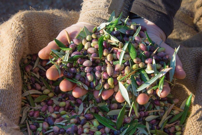 Geerntete neue Oliven in den Säcken auf einem Gebiet in Kreta, Griechenland für Olivenölproduktion stockfotografie