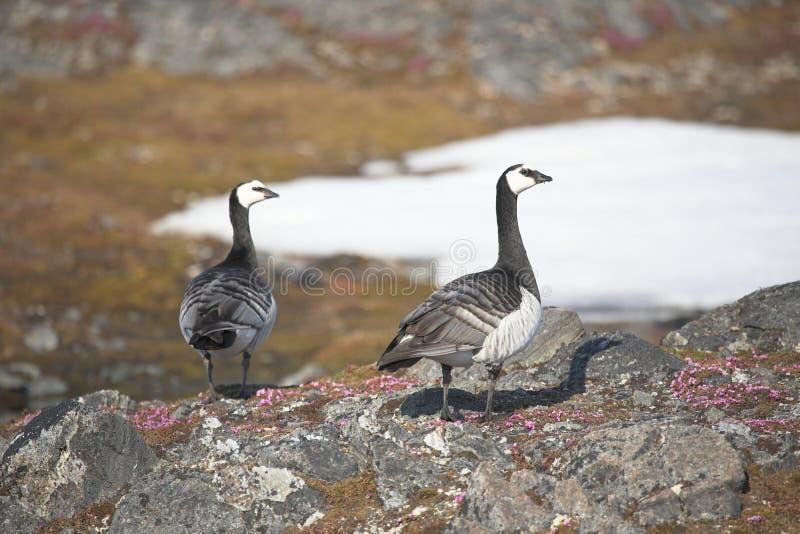 Gees de bernache dans la toundra arctique photo stock
