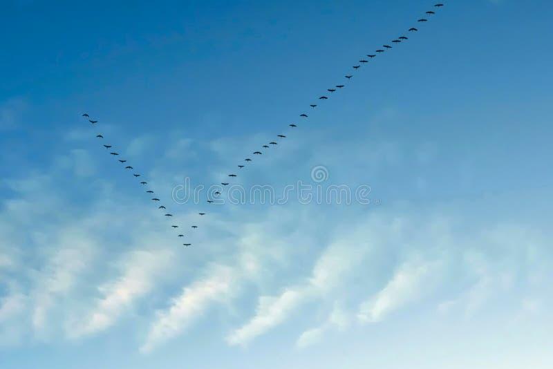 Gees flyghem fotografering för bildbyråer