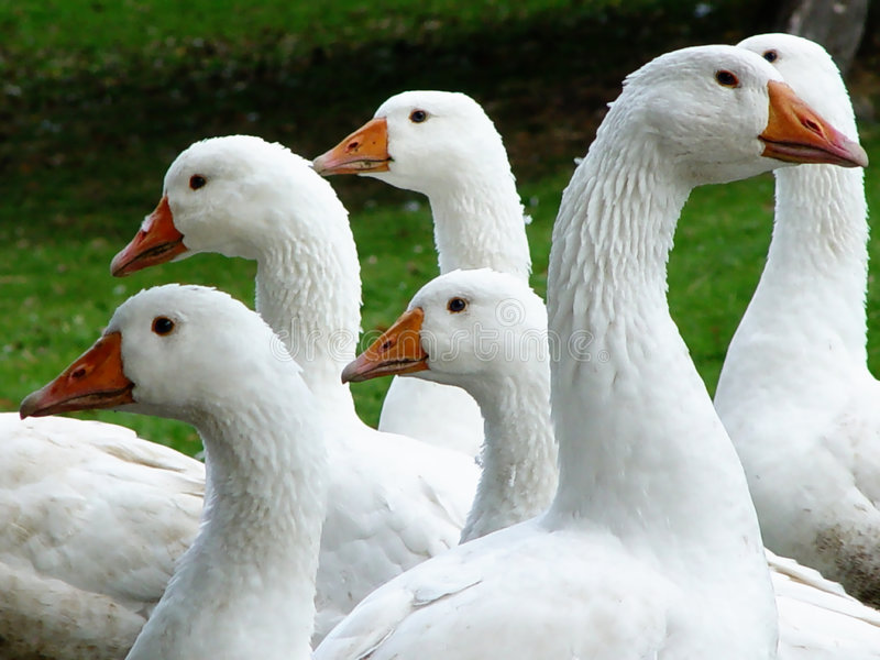 geese royalty free stock photos