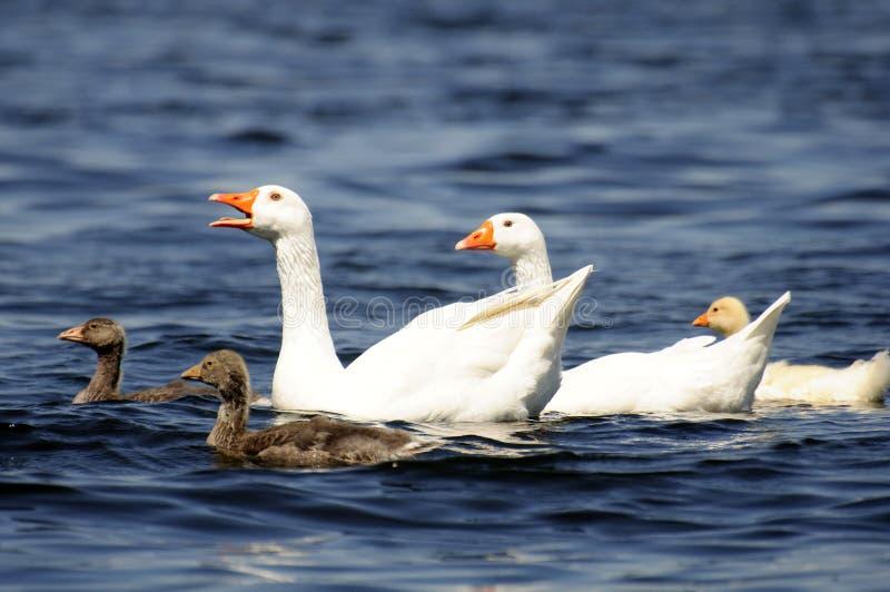 Download Geese stock photo. Image of float, park, livestock, orange - 12373362