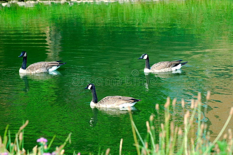 Download Geese stock photo. Image of goose, rural, green, swim, feathers - 197510