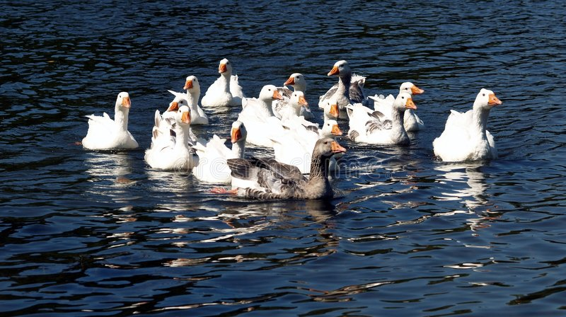 Geese. Having fun in the river royalty free stock photo