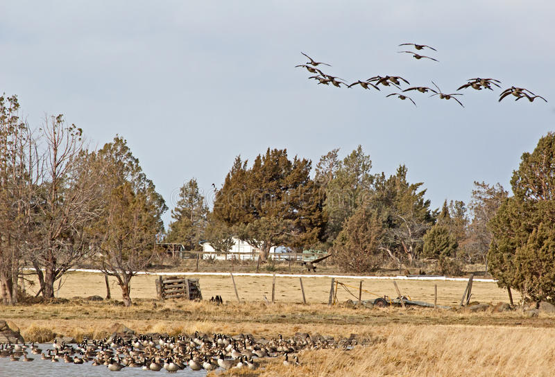 Geese Above Geese Below Royalty Free Stock Images
