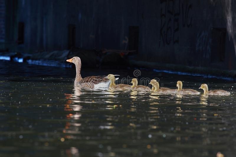 Geese family makes a trip on the `Eilbekcanal` in Hamburg. Geese babies at their first trip at the canal with their parents, Hamburg, Germany royalty free stock images
