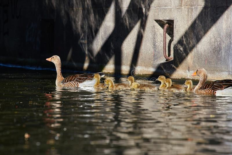Geese family makes a trip on the `Eilbekcanal` in Hamburg. Geese babies at their first trip at the canal with their parents, Hamburg, Germany stock photos