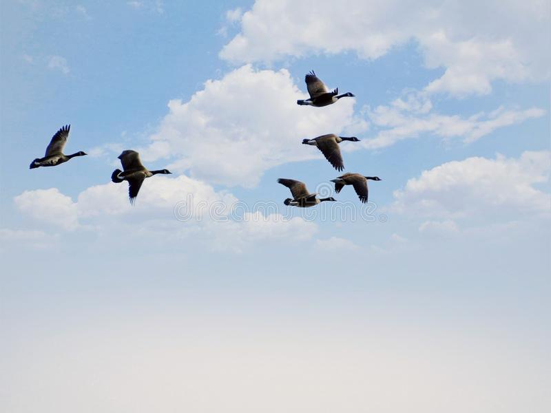 Geese Birds Flying Through The Clouds stock photo