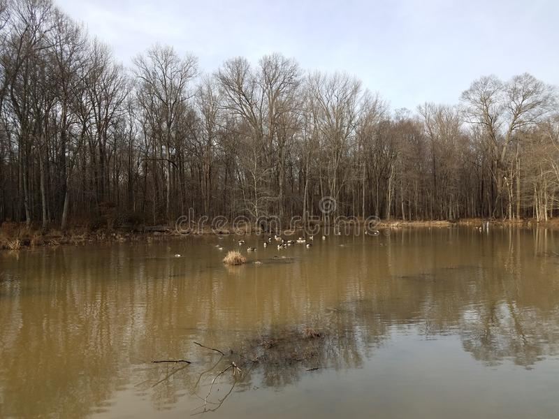 Geese and birds on water in wetland area. Or marsh stock images