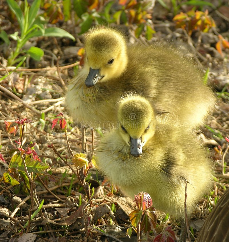 Geese Chicks