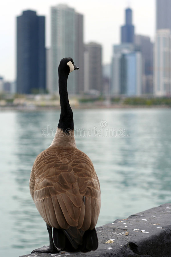 Geese in the City royalty free stock photos