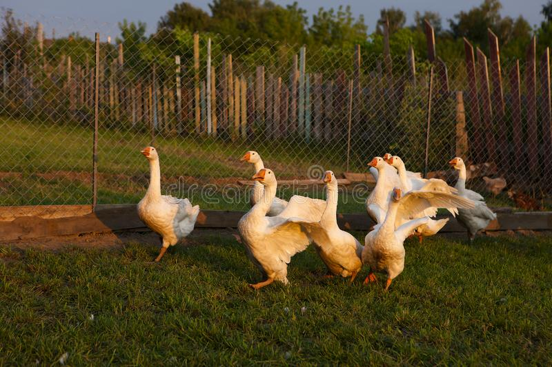 Geese in the countryside in a fenced grid pen on the grass in the setting sun royalty free stock image