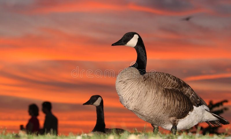 Download Geese and Couple at Sunset stock image. Image of ontario - 2610249
