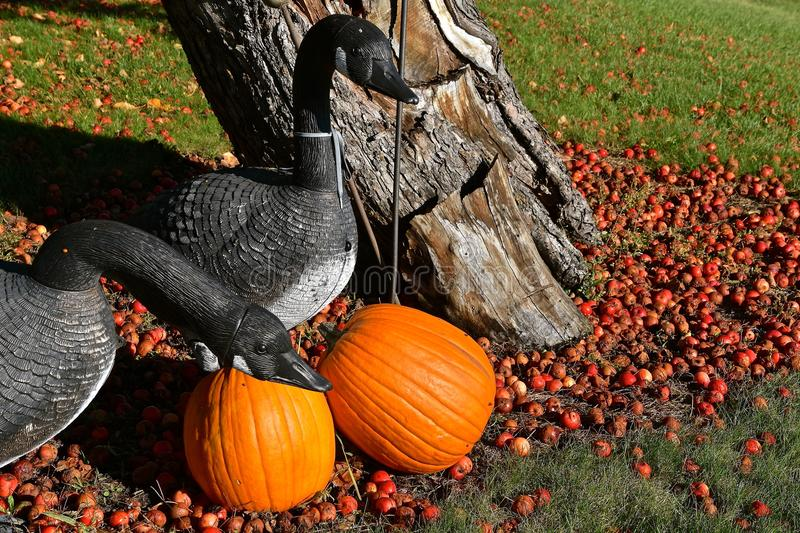 Geese decoys, pumpkins, and crab apples. Several geese decoys are among several pumpkins and crab apples laying on the ground royalty free stock photography