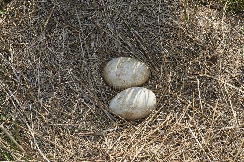 Geese eggs in nest stock photography