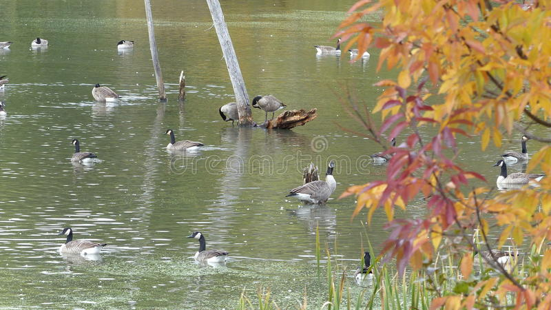 Geese Everywhere!. Have you spotted the goose yet? Take a look and see where it`s hiding royalty free stock photo