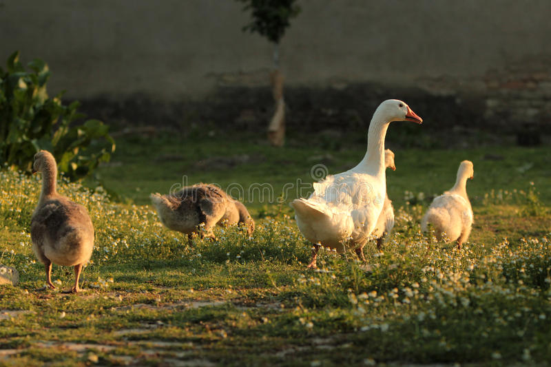 Download Geese Family Stock Photo - Image: 24915800