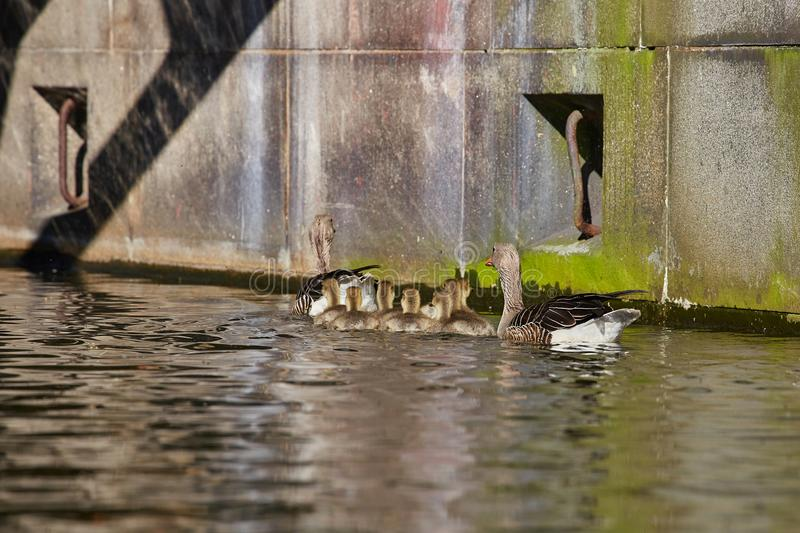 Geese family makes a trip on the `Eilbekcanal` in Hamburg. Geese babies at their first trip at the canal with their parents, Hamburg, Germany royalty free stock photos