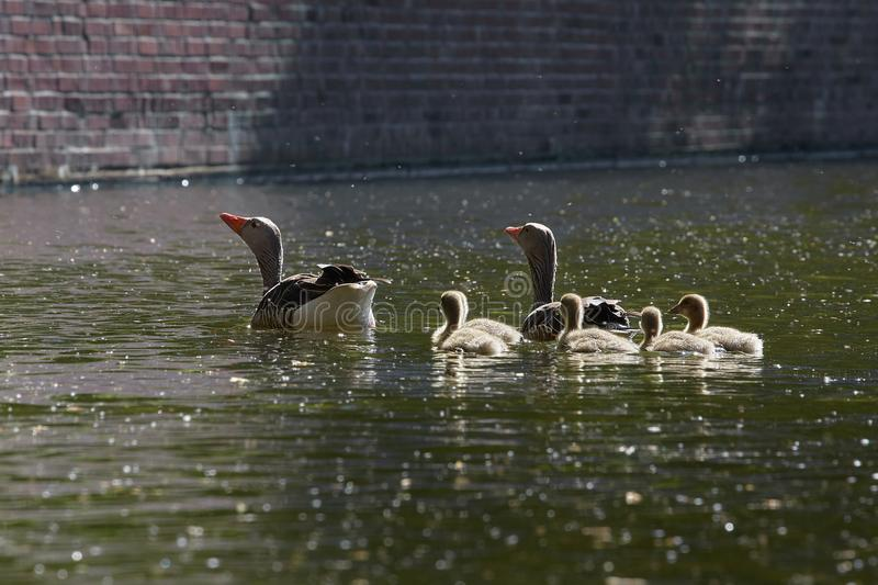 Geese family makes a trip on the `Eilbekcanal` in Hamburg. Geese babies at their first trip at the canal with their parents, Hamburg, Germany royalty free stock photography