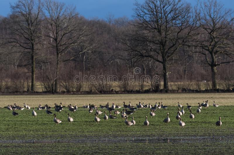 Geese feeding in a field royalty free stock photos