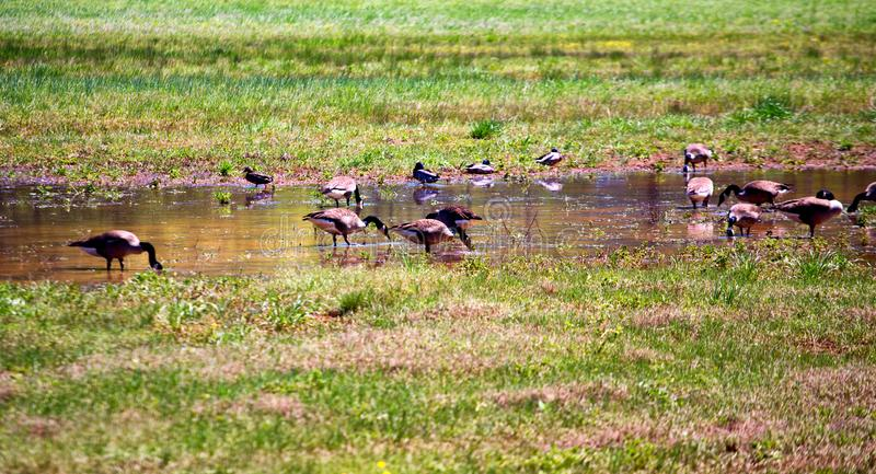 Geese Feeding in Marsh Pond royalty free stock images