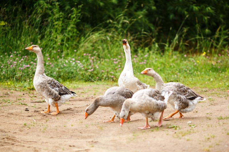 Geese on the field royalty free stock images