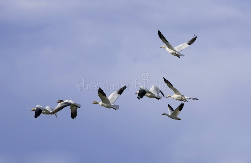 Download Geese In The Flight 2 Stock Photos - Image: 2300423