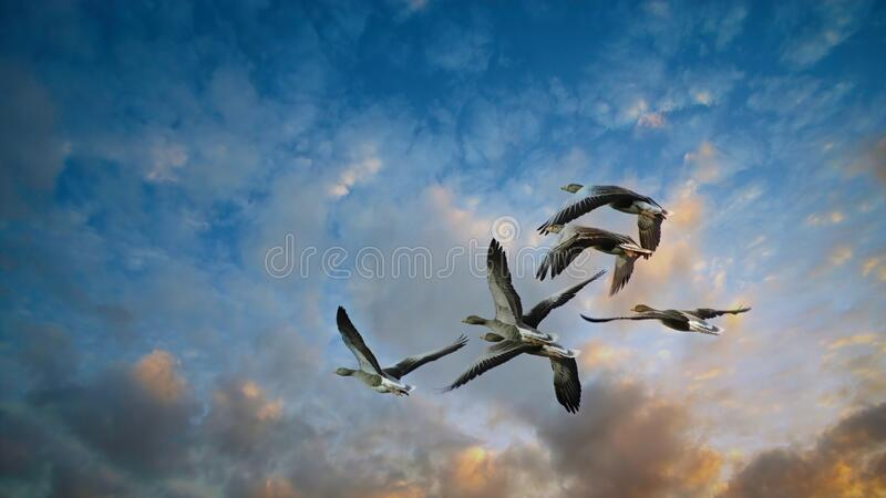 Geese in flight. stock image