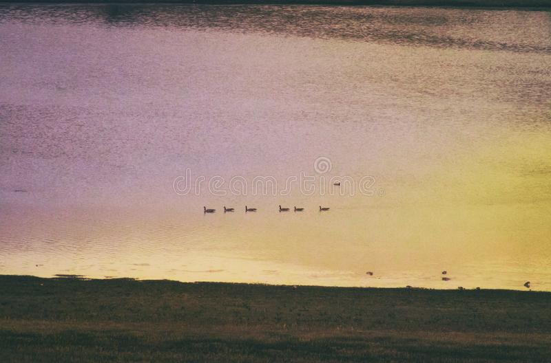 Geese Floating in a Line on Colorful Sunset River. Geese float in a line on a sunset filled colorful river in the evening. One duck looks excluded from the group stock photos