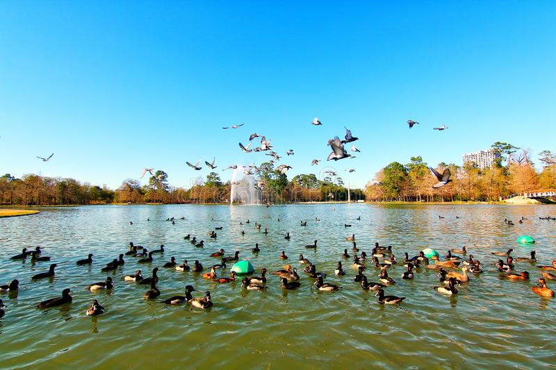 Geese flying around. A beautiful view of McGovern Lake with geese at Hermann Park in Houston Texas. Geese flying around with blue sky on a sunny day royalty free stock images