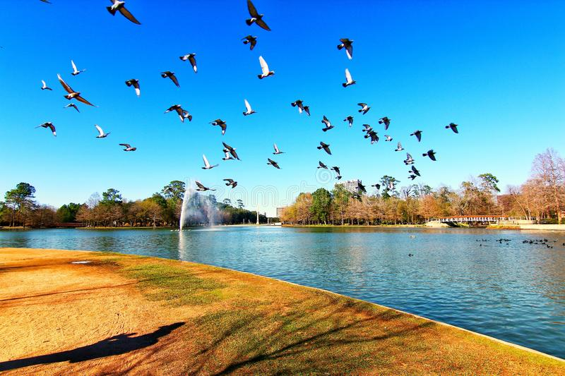 Geese flying around. A beautiful view of McGovern Lake with geese at Hermann Park in Houston Texas. Geese flying around with blue sky on a sunny day royalty free stock photos
