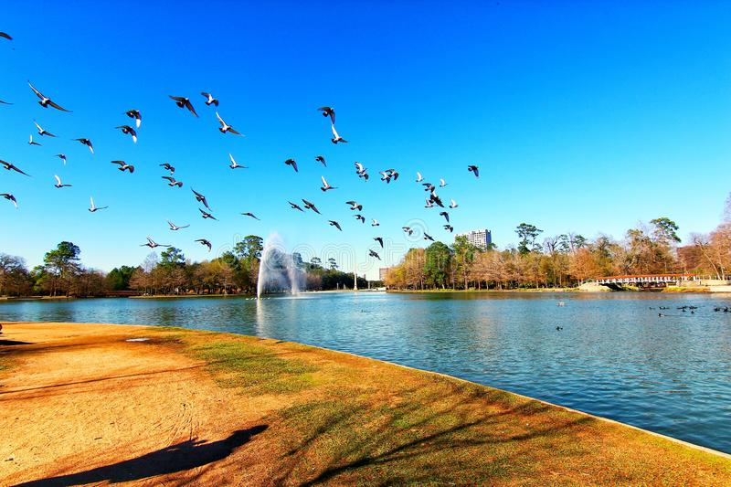 Geese flying around with blue sky stock image