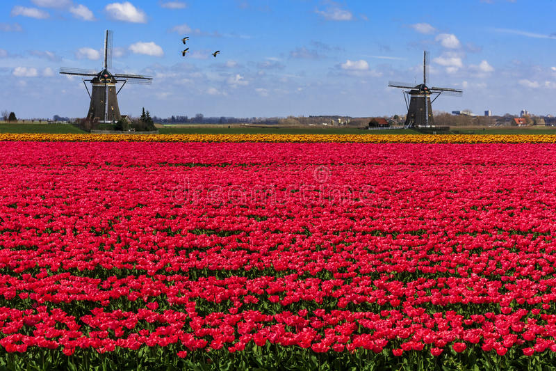 Geese flying over endless red tulip farm stock image