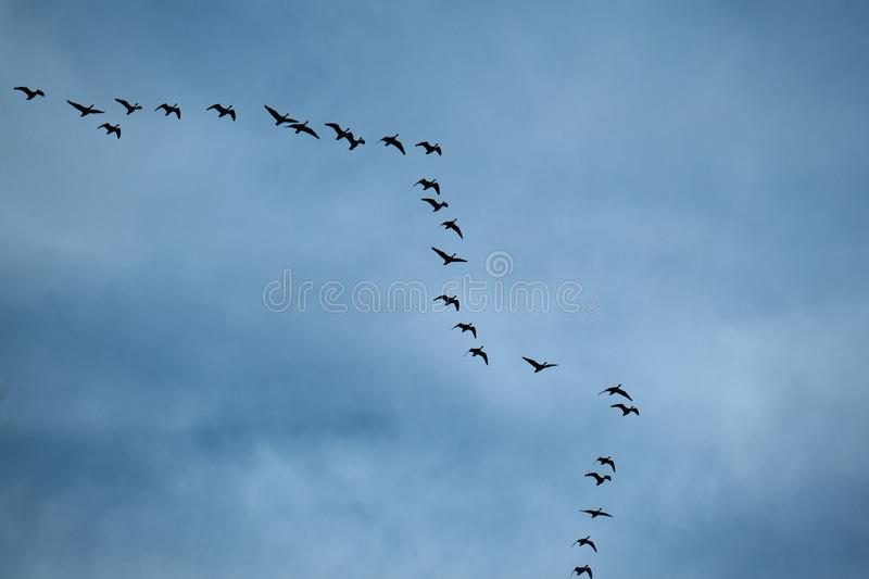 Geese flying in typical VEE formation in UK skies.  stock images
