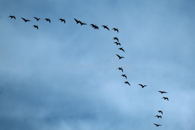 Geese flying in typical VEE formation in UK skies.  stock photography