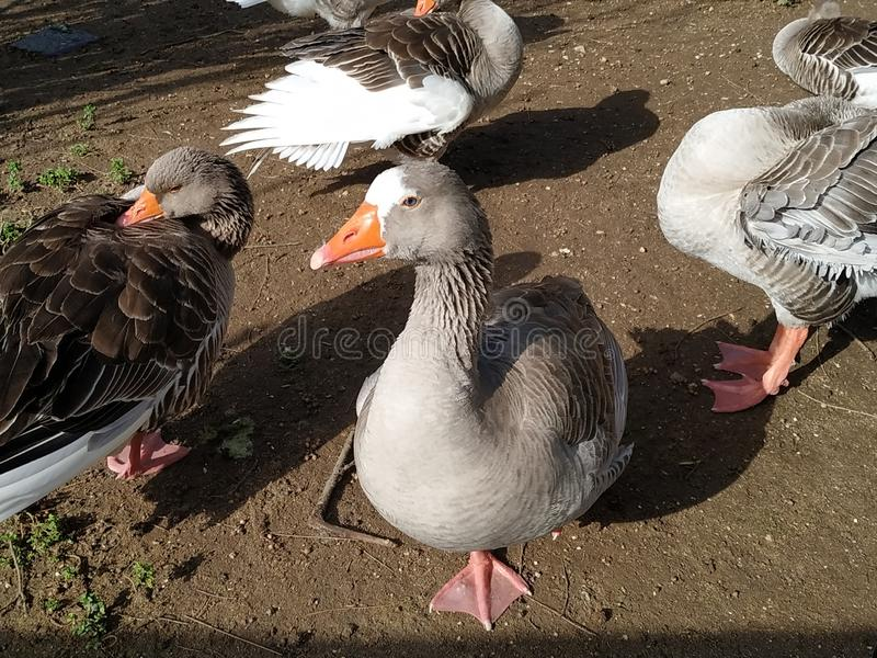 Geese goose in the morning sun in an animal park of Ayamonte. Spain photo taken in 2019 stock photo