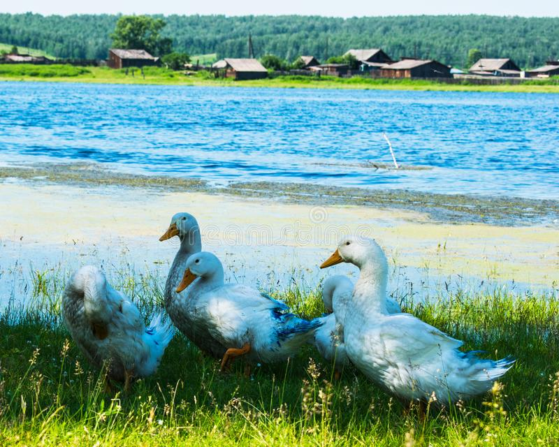 Geese in the grass. Domestic bird. Flock of geese. White geese. Geese in the green grass by the stream on a summer day. Poultry. Flock of geese. White goose in royalty free stock photo