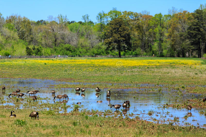 Geese Grazing in Meadow royalty free stock image