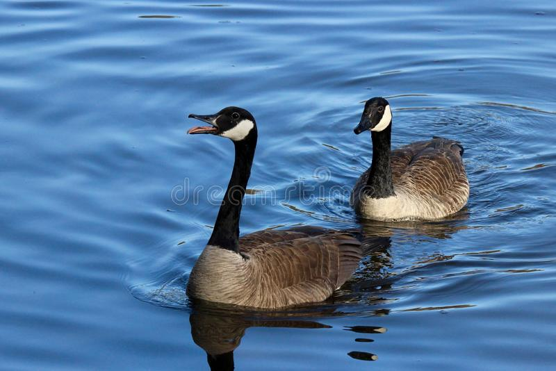 Geese Honking stock photos