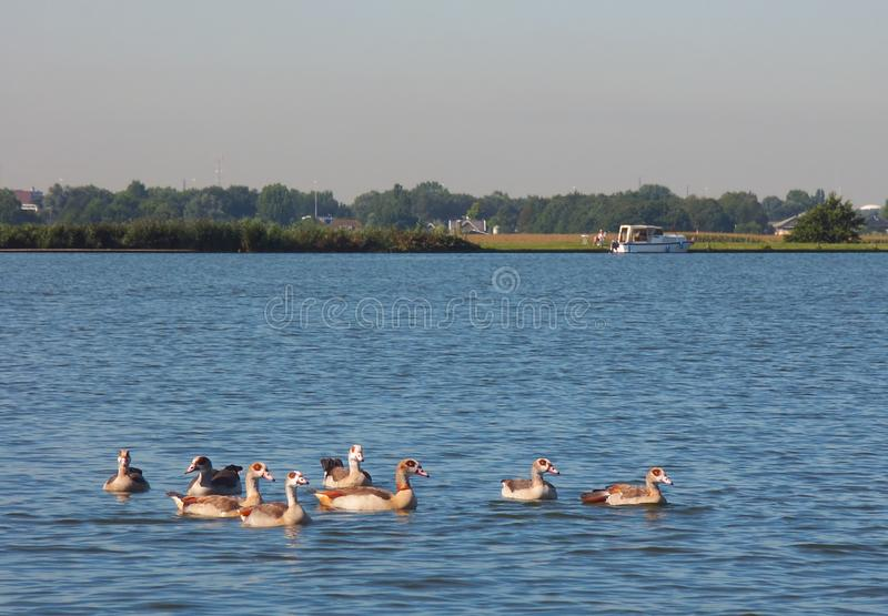 Geese On The Lake Free Stock Photography