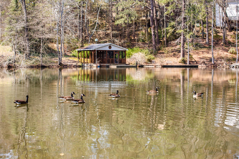 Geese in Lake by Boathouse royalty free stock images