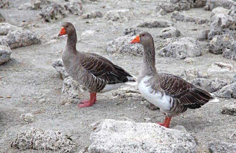 Download Geese At Lake Kournas At Island Crete Stock Image - Image: 33689227