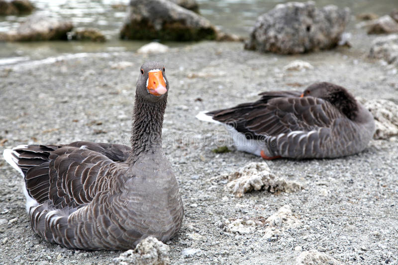 Download Geese At Lake Kournas At Island Crete Stock Image - Image: 33689853