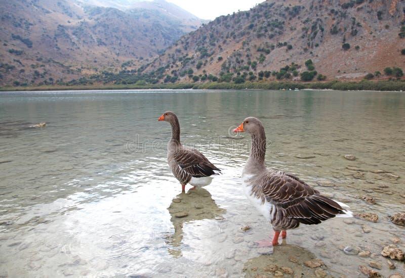 Download Geese At Lake Kournas At Island Crete Stock Photo - Image: 33693134