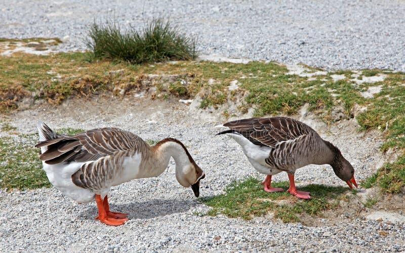 Download Geese At Lake Kournas At Island Crete Stock Image - Image: 33693791