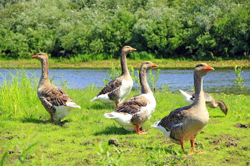 Geese on meadow near river. Domestic birds on pasture in summer. Geese on meadow near river. Flight of white house geese on green grass of meadow. Farm birds stock image