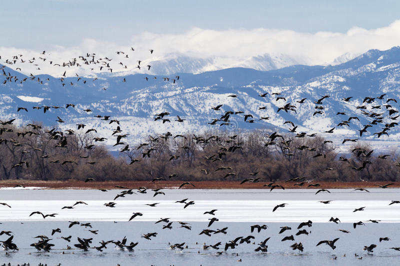 Geese migration royalty free stock images