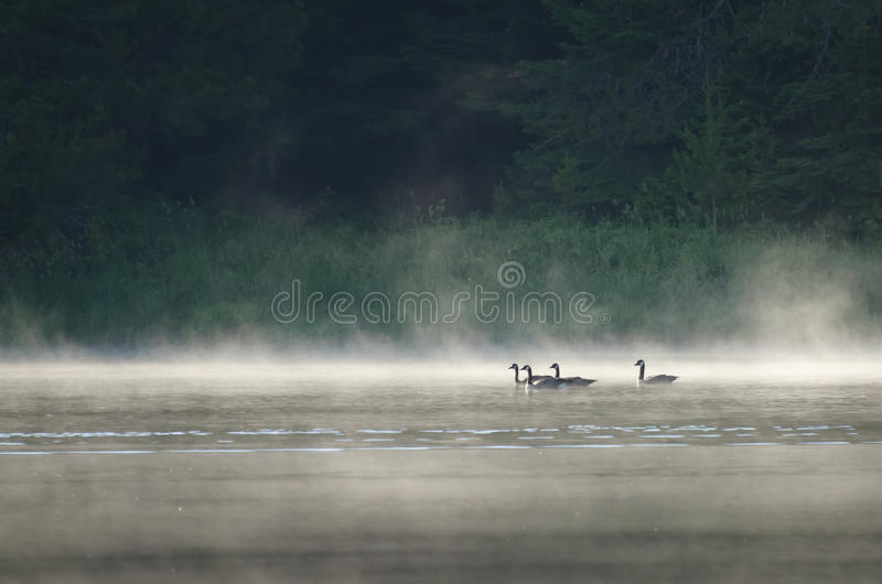 Download Geese on Misty Lake stock photo. Image of white, floating - 22936706